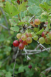 Pixwell Gooseberry (Ribes 'Pixwell') at Ron Paul Garden Centre