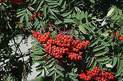 Black Hawk Mountain Ash (Sorbus aucuparia 'Black Hawk') at Ron Paul Garden Centre