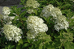 Little Lamb Hydrangea (Hydrangea paniculata 'Little Lamb') at Ron Paul Garden Centre