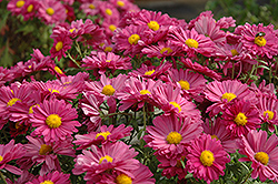 Lavender Daisy Chrysanthemum (Chrysanthemum 'Lavender Daisy') at Ron Paul Garden Centre