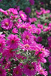 Alert Aster (Aster novi-belgii 'Alert') at Ron Paul Garden Centre