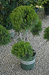 Mint Julep Juniper (pom pom) (Juniperus chinensis 'Mint Julep (pom pom)') at Ron Paul Garden Centre
