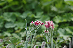 Red Pussytoes (Antennaria dioica 'Rubra') at Ron Paul Garden Centre