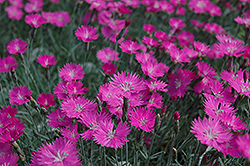 Firewitch Pinks (Dianthus gratianopolitanus 'Firewitch') at Ron Paul Garden Centre