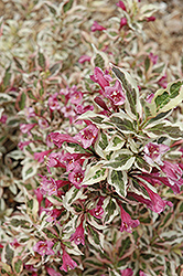 My Monet® Weigela (Weigela florida 'Verweig') at Ron Paul Garden Centre
