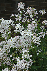 Dame's Rocket (Hesperis matronalis) at Ron Paul Garden Centre