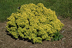 Golden Devine Dwarf Japanese Barberry (Berberis thunbergii 'Golden Devine') at Ron Paul Garden Centre