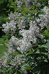 Late Lilac (Syringa villosa) at Ron Paul Garden Centre