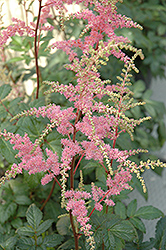 Bressingham Beauty Astilbe (Astilbe x arendsii 'Bressingham Beauty') at Ron Paul Garden Centre
