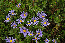 Blue Daisy (Felicia amelloides) at Ron Paul Garden Centre