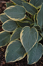 First Frost Hosta (Hosta 'First Frost') at Ron Paul Garden Centre