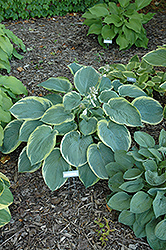 American Halo Hosta (Hosta 'American Halo') at Ron Paul Garden Centre