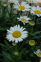 Snow Lady Shasta Daisy (Leucanthemum x superbum 'Snow Lady') at Ron Paul Garden Centre