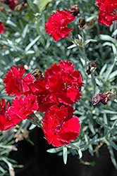 Fire Star Pinks (Dianthus 'Devon Xera') at Ron Paul Garden Centre