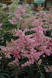 Drum And Bass Astilbe (Astilbe 'Drum And Bass') at Ron Paul Garden Centre