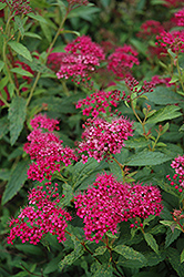 Neon Flash Spirea (Spiraea japonica 'Neon Flash') at Ron Paul Garden Centre
