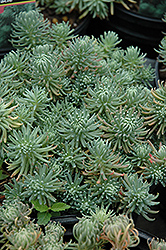 Oracle Stonecrop (Sedum forsterianum 'Oracle') at Ron Paul Garden Centre