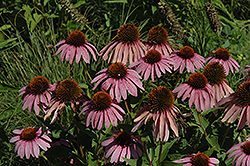 Purple Coneflower (Echinacea purpurea) at Ron Paul Garden Centre
