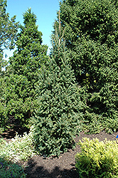 Columnar Norway Spruce (Picea abies 'Cupressina') at Ron Paul Garden Centre