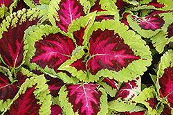 Kong Rose Coleus (Solenostemon scutellarioides 'Kong Rose') at Ron Paul Garden Centre
