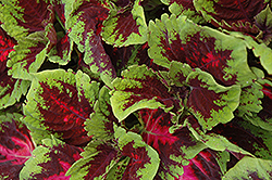 Kong Red Coleus (Solenostemon scutellarioides 'Kong Red') at Ron Paul Garden Centre