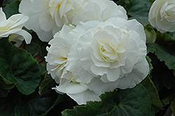 Nonstop® White Begonia (Begonia 'Nonstop White') at Ron Paul Garden Centre