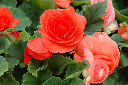 Nonstop® Deep Salmon Begonia (Begonia 'Nonstop Deep Salmon') at Ron Paul Garden Centre