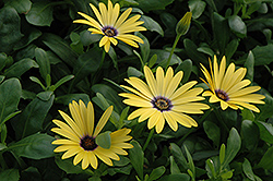Lemon Symphony African Daisy (Osteospermum 'Lemon Symphony') at Ron Paul Garden Centre