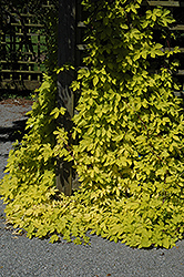 Golden Hops (Humulus lupulus 'Aureus') at Ron Paul Garden Centre
