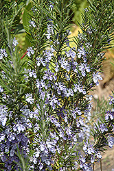 Rosemary (Rosmarinus officinalis) at Ron Paul Garden Centre