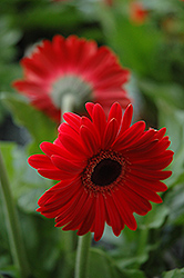 Red Gerbera Daisy (Gerbera 'Red') at Ron Paul Garden Centre