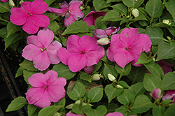 Super Elfin® Lilac Impatiens (Impatiens walleriana 'Super Elfin Lilac') at Ron Paul Garden Centre