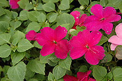 Super Elfin® Violet Impatiens (Impatiens walleriana 'Super Elfin Violet') at Ron Paul Garden Centre