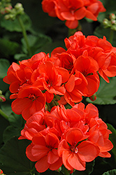 Patriot Orange Geranium (Pelargonium 'Patriot Orange') at Ron Paul Garden Centre