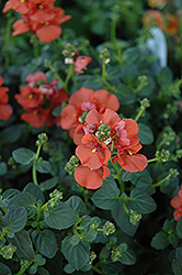 Flirtation® Orange Diascia (Diascia 'Flirtation Orange') at Ron Paul Garden Centre