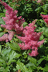 Younique Cerise Astilbe (Astilbe 'Verscerise') at Ron Paul Garden Centre
