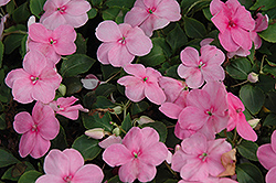 Super Elfin® XP Pink Impatiens (Impatiens walleriana 'Super Elfin XP Pink') at Ron Paul Garden Centre
