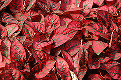 Splash Select Red Polka Dot Plant (Hypoestes phyllostachya 'Splash Select Red') at Ron Paul Garden Centre