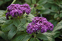 Garden Heliotrope (Heliotropium arborescens) at Ron Paul Garden Centre
