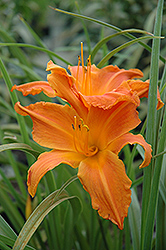 Primal Scream Daylily (Hemerocallis 'Primal Scream') at Ron Paul Garden Centre
