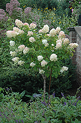 Limelight Hydrangea (tree form) (Hydrangea paniculata 'Limelight (tree form)') at Ron Paul Garden Centre