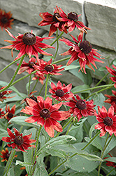 Cherry Brandy Coneflower (Rudbeckia hirta 'Cherry Brandy') at Ron Paul Garden Centre