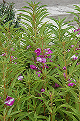 Garden Balsam (Impatiens balsamina) at Ron Paul Garden Centre