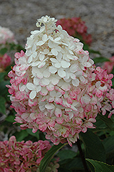 Vanilla Strawberry™ Hydrangea (Hydrangea paniculata 'Renhy') at Ron Paul Garden Centre