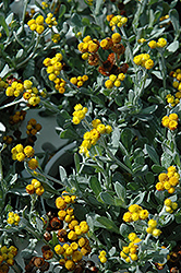 Flambe Yellow Strawflower (Chrysocephalum apiculatum 'Flochryel') at Ron Paul Garden Centre