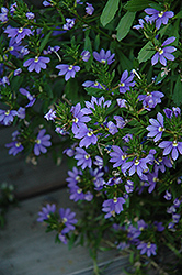 Whirlwind® Blue Fan Flower (Scaevola aemula 'Whirlwind Blue') at Ron Paul Garden Centre