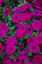 Wave Purple Petunia (Petunia 'Wave Purple') at Ron Paul Garden Centre