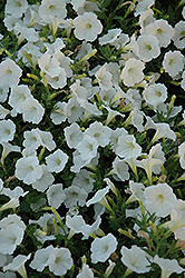Shock Wave Coconut Petunia (Petunia 'Shock Wave Coconut') at Ron Paul Garden Centre