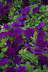 Pretty Flora Midnight Petunia (Petunia 'Pretty Flora Midnight') at Ron Paul Garden Centre
