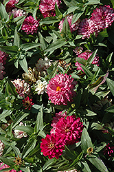 Zahara® Double Strawberry Zinnia (Zinnia 'Zahara Double Strawberry') at Ron Paul Garden Centre